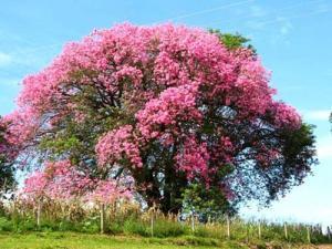 madera de rosa